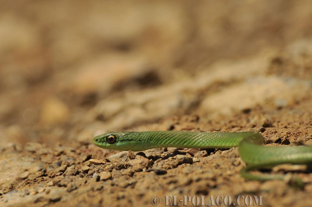 Die letzten Augenblicke einer vom Pech verfolgten bolivianischen Schlange